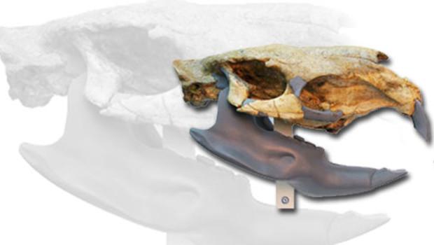 rat fossile découverte crâne