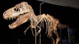 Le tyrannosaure chassait bien des proies vivantes
