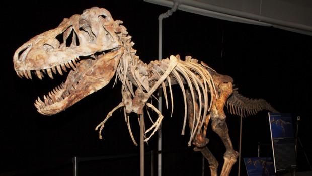 Le squelette d'un tyrannosaure Tarbosaure bataar saisi aux Etats-Unis.