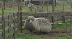 Mouton australien jamais tondu