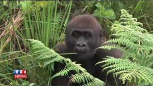 Il faut sauver les gorilles !