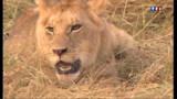 Une femme tuée par un lion dans une réserve de félins en Californie