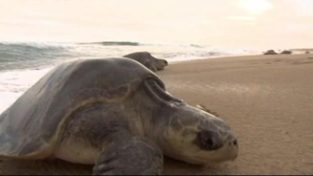 Mexique : des tortues sous protection de l'armée