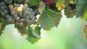 Les vins de millésime 1983
