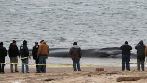 Une baleine d'environ 9 mètres de long s'est échouée, le 26 décembre 2012, sur une plage de New York.