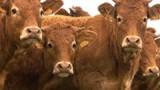 Qui a volé les vaches ?