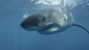 Grand requin blanc les origines PRIORITE GRILLE