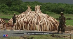 Kenya : plus de cent tonnes d'ivoire incinérées