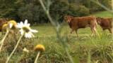 Une télépathe pour traquer la vache Yvonne
