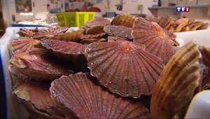 En Normandie, on déguste les premières coquilles Saint-Jacques
