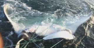 Pérou : ils pêchent une raie géante de plus d'une tonne