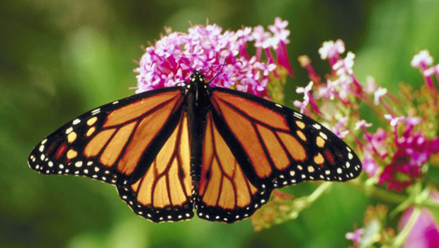 http://s.tf1.fr/mmdia/i/71/5/une-espece-de-papillon-10664715csoae_1713.jpg?v=1