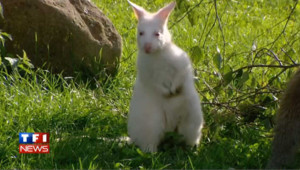VIDEO : naissance d'un kangourou albinos au Danemark