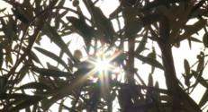 Le 20 heures du 18 octobre 2014 : L'huile d'olive, bient�ne denr�rare ? - 987.2249999999999