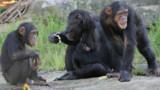 Les chimpanzés eux aussi préfèrent se servir de la main droite