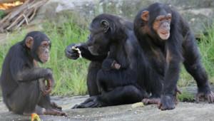 Une famille de chimpanzés