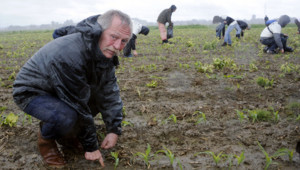 José Bové arrache des plants de maïs transgénique près de Toulouse