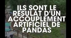 Chine : deux vieux pandas retrouvent leur ville natale