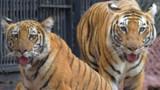 Il se jette dans la cage des tigres... qui refusent de le manger