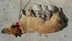 Des bébés tigres allaités par…. une chienne : les images
