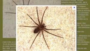 recluse brune araignée