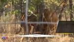 Des lions, sauvés des cirques sud-américains, retrouvent les terres africaines