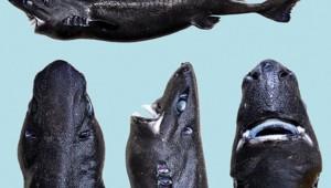 """Une nouvelle espèce de """"requin-ninja"""" phosphorescent découverte au large de la côte Pacifique"""