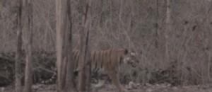 Inde : sur les traces des tigres sauvages