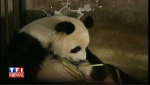 Jumeaux pandas : un mois déjà et toujours allaités