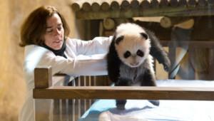 """Le panda """"Xing Bao"""""""