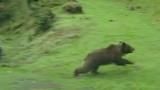 L'ours traverse la 4 voies et percute un minibus