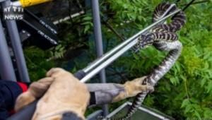 À Saint-Ouen, un serpent de deux mètres perché sur un arbre capturé par les pompiers