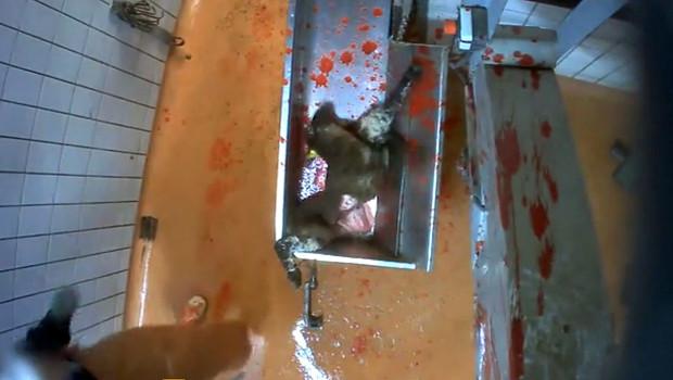 Des agneaux maltraités dans un abattoir des Pyrénées, selon des images de l'association L214