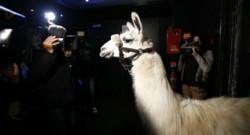 Serge le lama dans une discothèque de Cannes le 22 novembre 2013