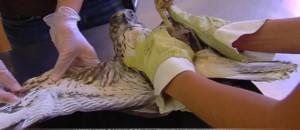 Luberon : cette buse électrocutée est soignée dans une clinique très spéciale