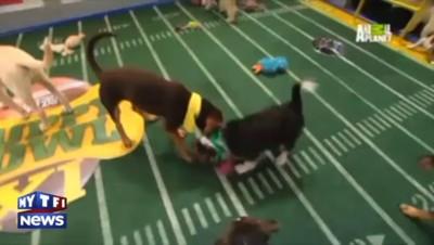 """""""Puppy Bowl"""", quand des chiots s'affrontent dans un match de football américain"""
