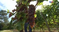 Le 20 heures du 14 septembre 2014 : Vendanges : quand les vignerons font appel �es laboratoires - 1881.9216690063479