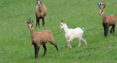 Le 20 heures du 28 août 2014 : Le chamois blanc, un animal rare �auvegarder - 1774.587