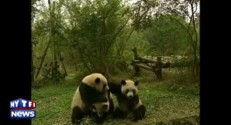De plus en plus de pandas géants en Chine
