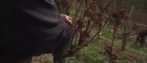 Pyrénées-Atlantiques : les vendanges tardives du Jurançon se terminent