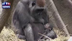 Deux gorilles voient le jour dans un zoo new yorkais