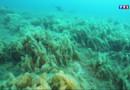 Le 20 heures du 4 août 2015 : Prolifération d'algues en Méditerranée : des menaces pour la faune et la flore ? - 1178