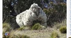 Australie : un mouton si laineux qu'il a failli en mourir