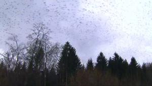 Le 20 heures du 19 janvier 2015 : Des millions de pinsons en migration dans le ciel allemand - 1898.8347357177734