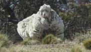 Un mouton laineux repéré en Australie.
