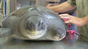 Une nageoire artificielle pour une tortue de mer.