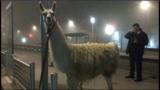 VIDEO. Le cirque de Serge, le lama voyageur de Bordeaux, a porté plainte