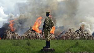 Kenya ivoire destruction éléphants