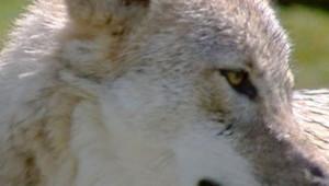 Tête d'un loup vu en gros plan