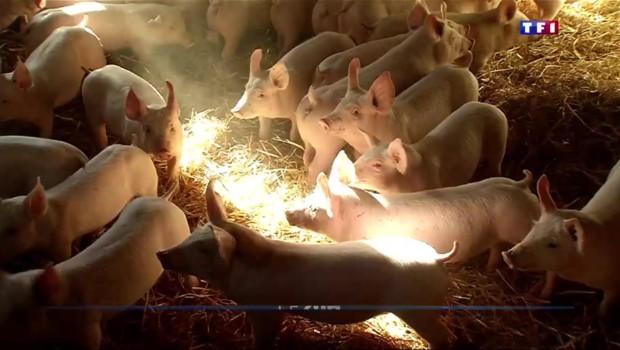 La minute pour comprendre : le prix du porc